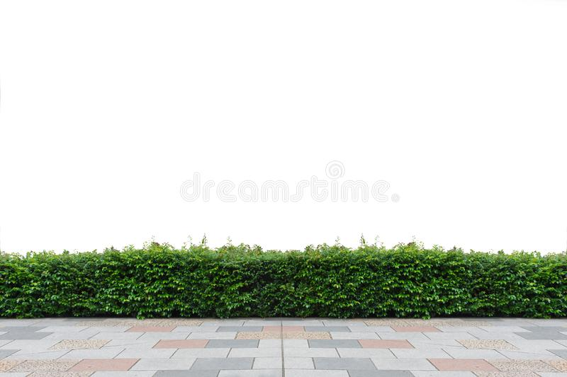 Green hedge isolated. Panoramic, lawn. stock photo