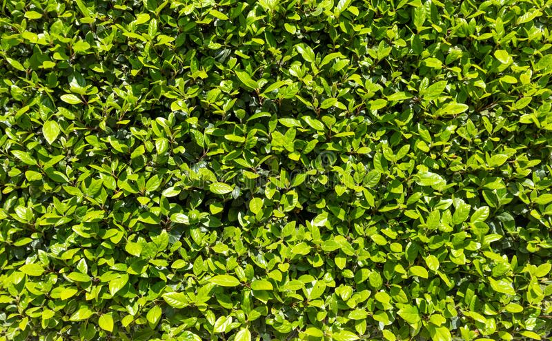 Green hedge in springtime. Fresh green leaves, in a sunny day, full frame background. Green hedge in springtime. Natural wall fence, plants with fresh green royalty free stock images