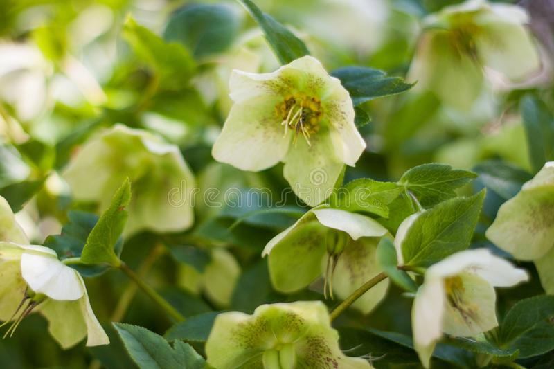 Green hellebore flowers in full bloom stock photo