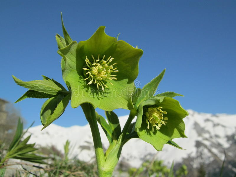 Green Hellebore (Helleborus viridis) royalty free stock photo