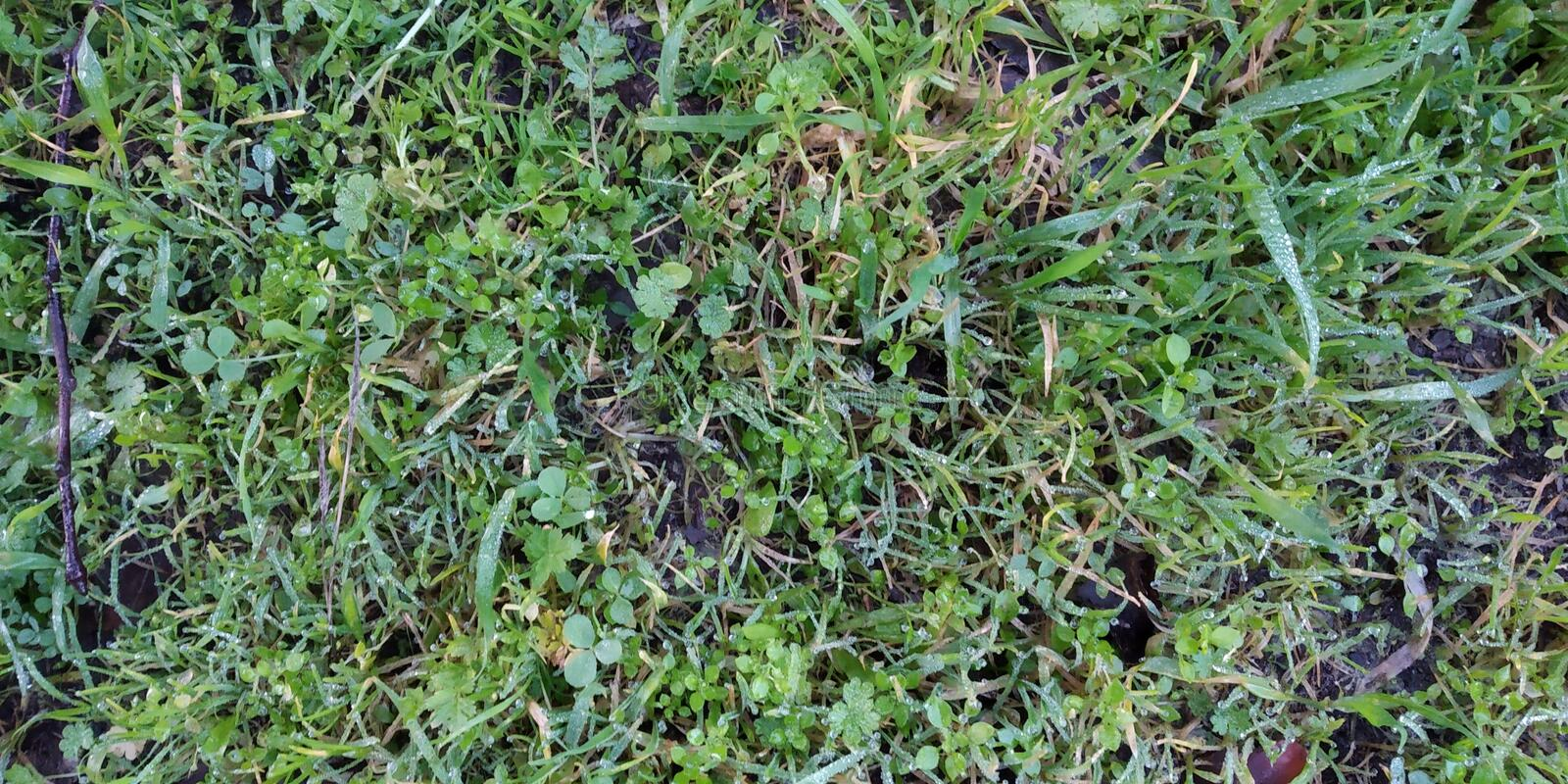 Green Herb Texture in Floor. Green Grass background and texture. Top view from lawn. Florest floor royalty free stock photo