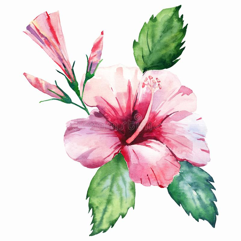 Green herbal tropical wonderful hawaii floral summer tropic pink red flower with buds and green leaves. Watercolor hand illustration royalty free illustration