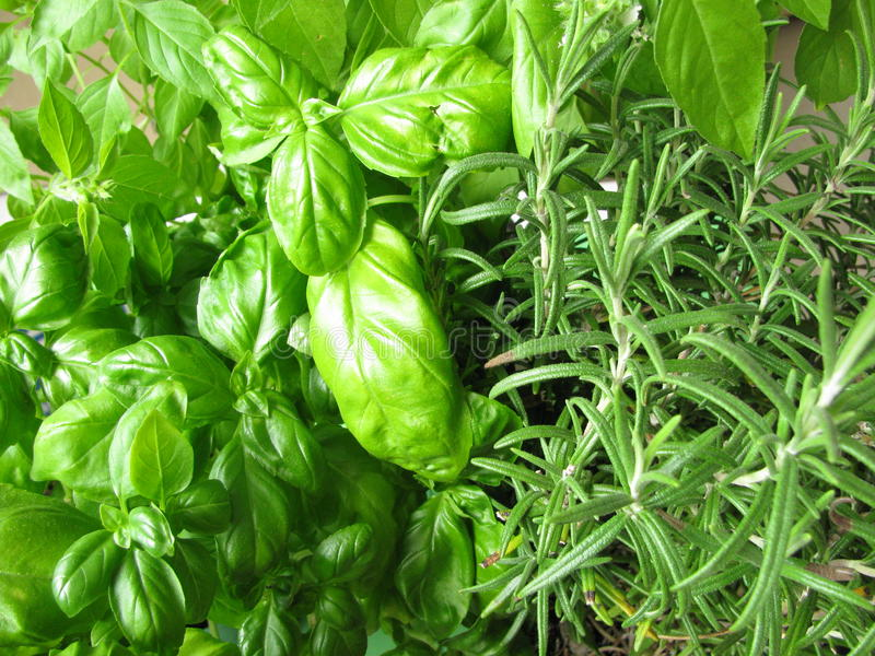 Green herbs. Fresh green herbs, basil, lemon basil, rosemary royalty free stock images