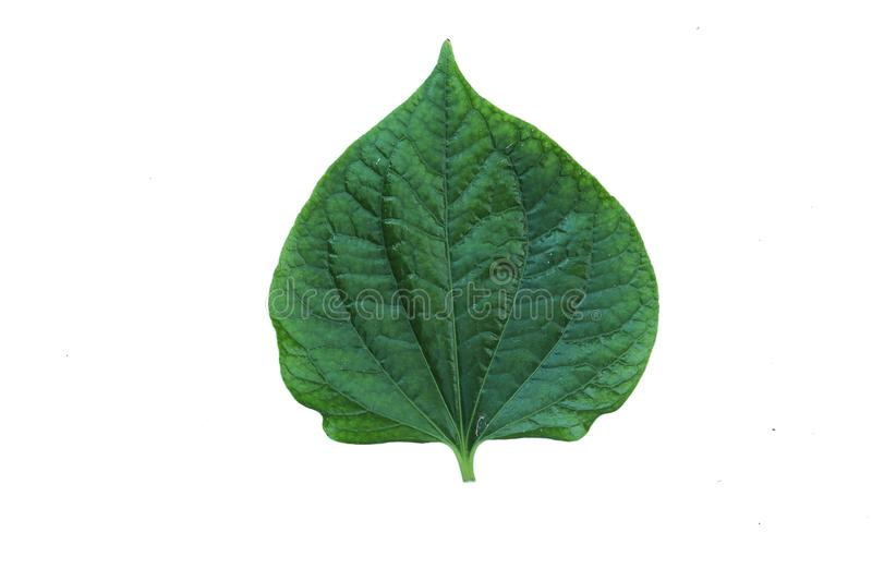 Green Herbs chaplo leaf isolated on white background stock photo