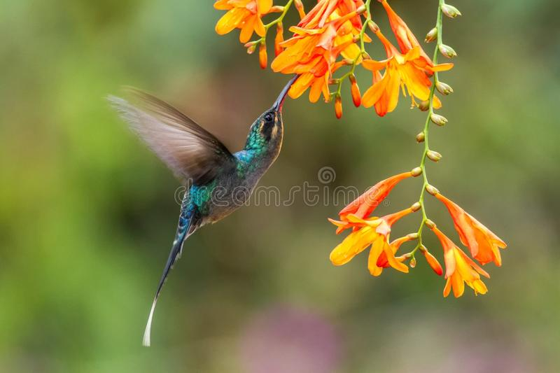 Green hermit, hovering next to orange flower, bird from mountain tropical forest, Costa Rica, beautiful hummingbird sucking nectar. From blossom, bird in flight royalty free stock photos