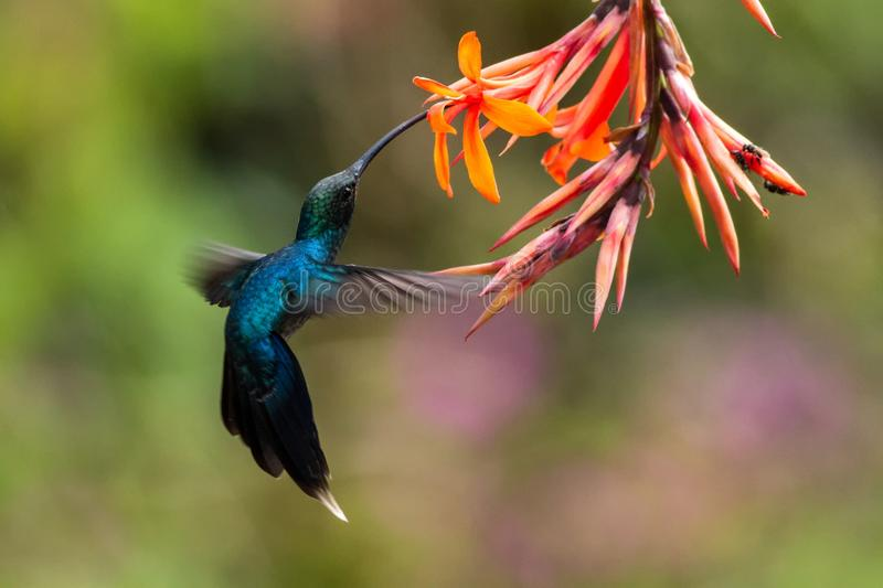 Green hermit, hovering next to orange flower, bird from mountain tropical forest, Costa Rica, beautiful hummingbird sucking nectar. From blossom, bird in flight stock photography