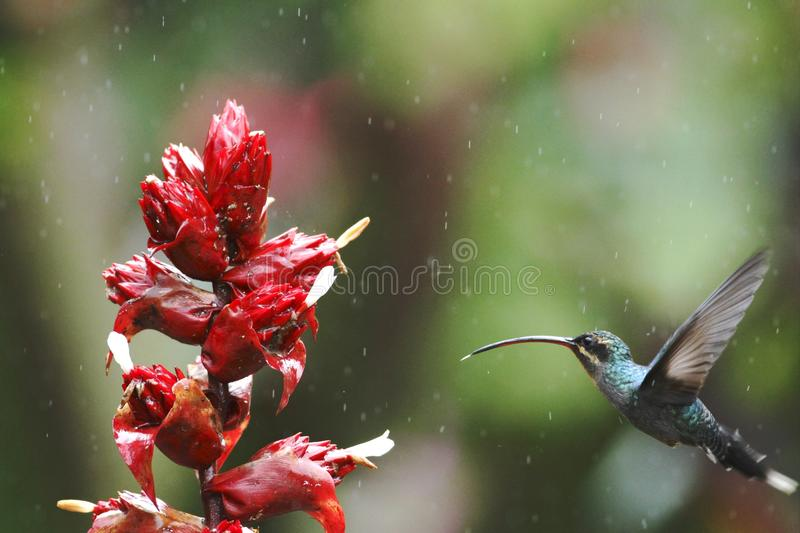Green hermit, hovering next to red flower in garden, bird from mountain tropical forest, Costa Rica,hummingbird flying in the rain. Green hermit, hovering next stock photos