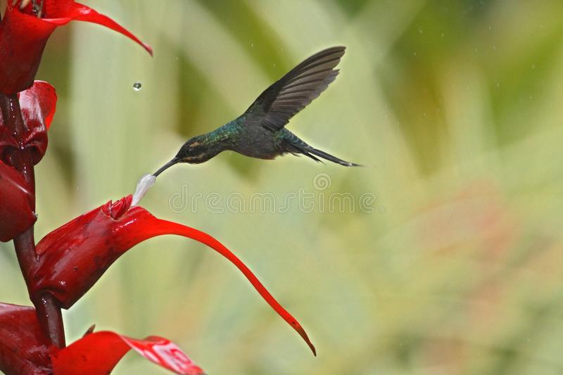 Green hermit, hovering next to red flower in garden, bird from mountain tropical forest, Costa Rica,hummingbird flying in the rain. Green hermit, hovering next royalty free stock images
