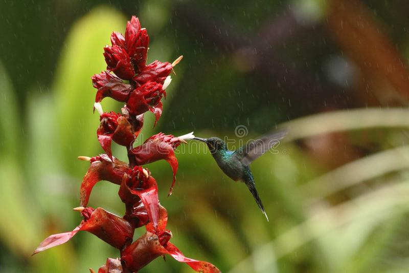 Green hermit, hovering next to red flower in garden, bird from mountain tropical forest, Venezuela, hummingbird flying in the rain. Natural habitat, beautiful royalty free stock photography