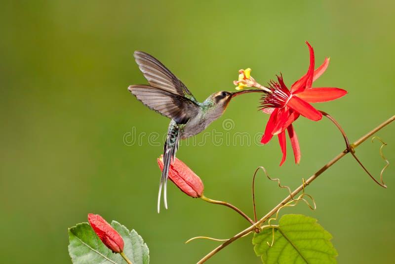Green Hermit Hummingbird royalty free stock photos