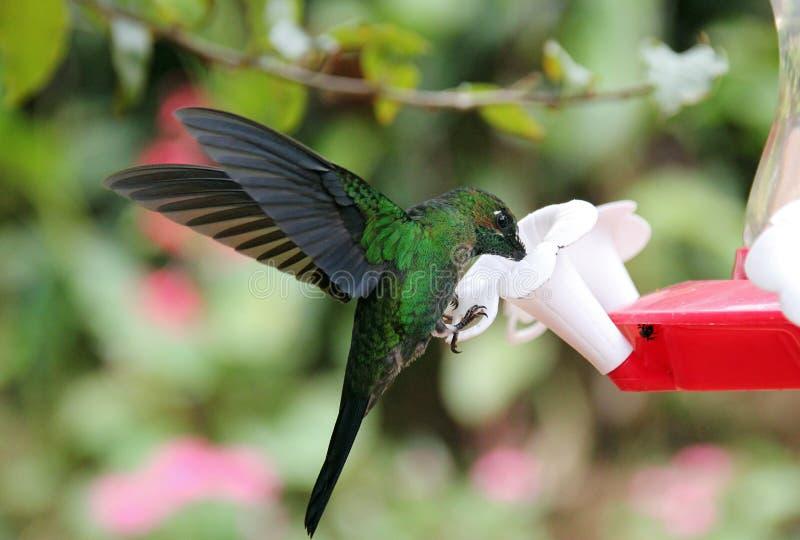 Green Hermit Hummingbird stock photos