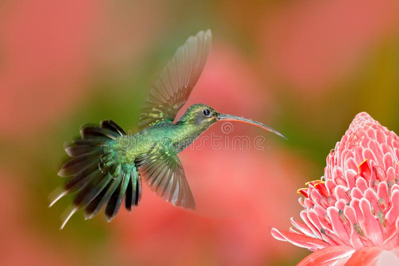 Green Hermit, Phaethornis guy, rare hummingbird from Trinidad. Shiny bird flying next to beautiful pink red flower in jungle. Acti stock photos
