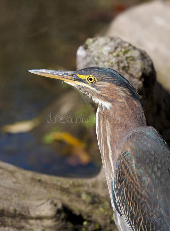 Download Green Heron stock image. Image of mirceax, hunter, bizard - 24385433
