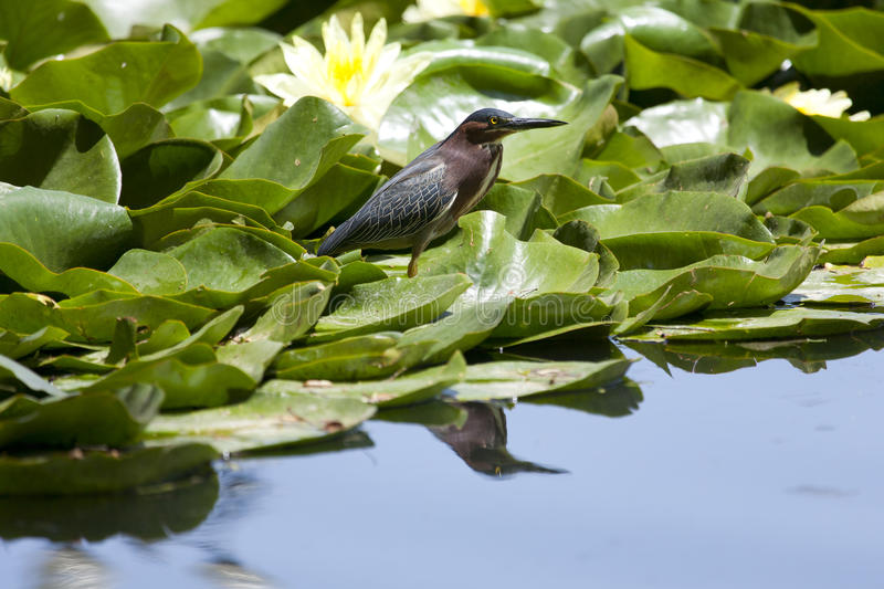 Green Heron stock photo