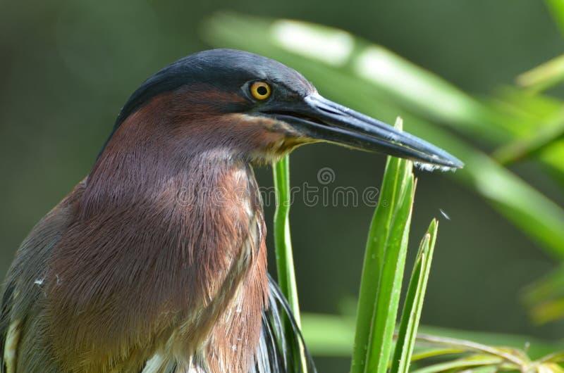 Green Heron Bird with Yellow Eyes in Homosassa Springs. Florida royalty free stock photography