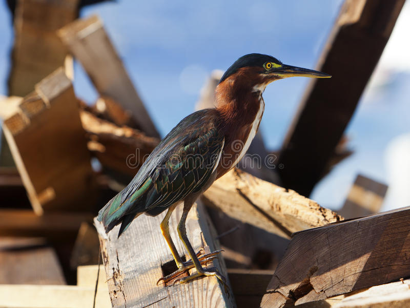 Green Heron. In breeding plumage on a pile of flotsam at Terre-Haute, Guadeloupe royalty free stock photography