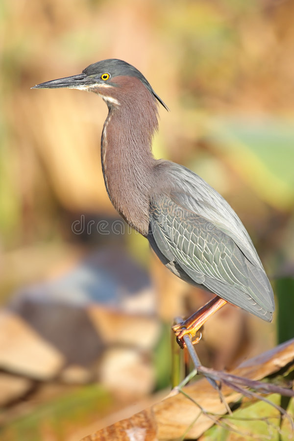 Green Heron (Butorides virescens). In the Florida Everglades royalty free stock photo