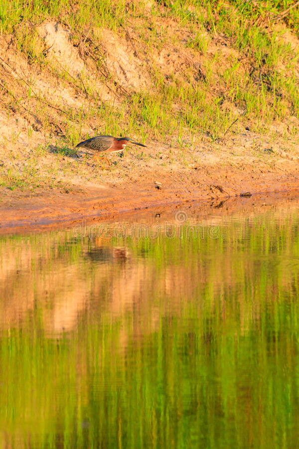 Green Heron, Butorides virescens, searches for a meal in Bald Knob Wildlife Refuge in Bald Knob. Arkansas royalty free stock images