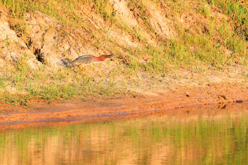 Green Heron, Butorides virescens, searches for a meal in Bald Knob Wildlife Refuge in Bald Knob. Arkansas royalty free stock image