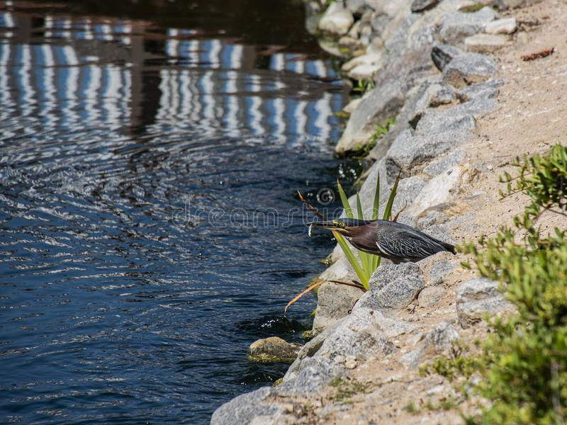 Green Heron catches a silver fish on the rocky lake shore stock photos