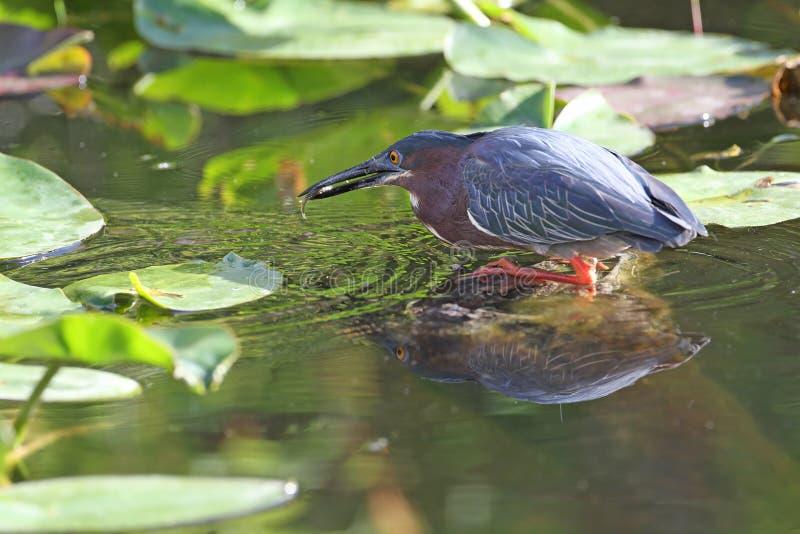 Green Heron Catching a Fish