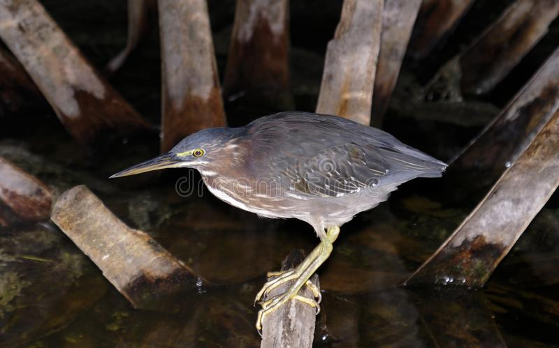 The Green Heron royalty free stock photography