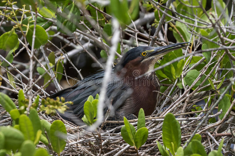 Green Heron Incubating, J.N. Ding Darling National Wildlife stock images