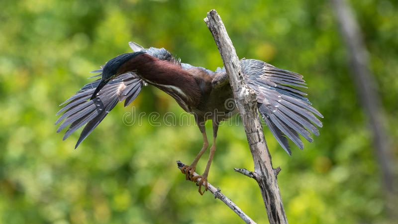 Green Heron, J.N. Ding Darling National Wildlife Refuge, San stock photo