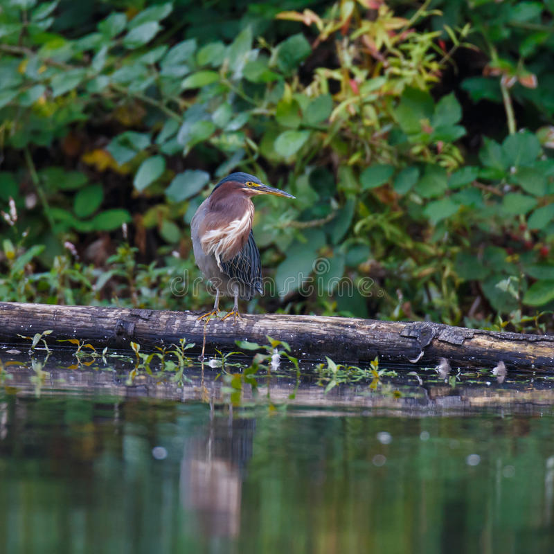 Download Green Heron on a log stock image. Image of watchful, green - 33957311
