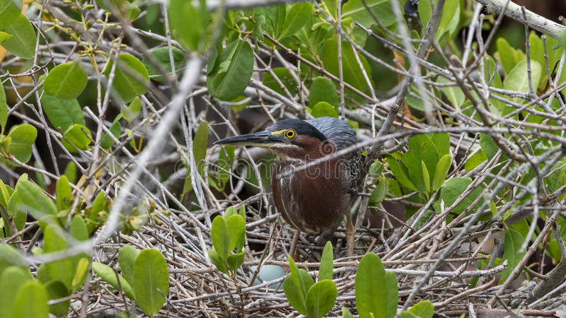 Green Heron in the Nest with Egg, J.N. Ding Darling National stock image