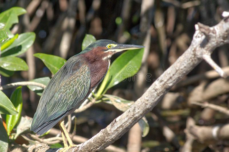 Green heron, park window oaxaca. Algae, america, animals, bird, watching, blue, camping, catching, colorful, dragonflies, ecosystem, everglades, flight royalty free stock photos