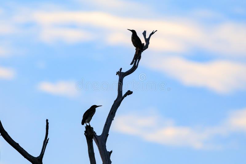 Green Heron perched high in a tree. A pair of Green Heron perched high in a tree at the Bald Knob National Wildlife Refuge in Bald Knob, Arkansas stock images