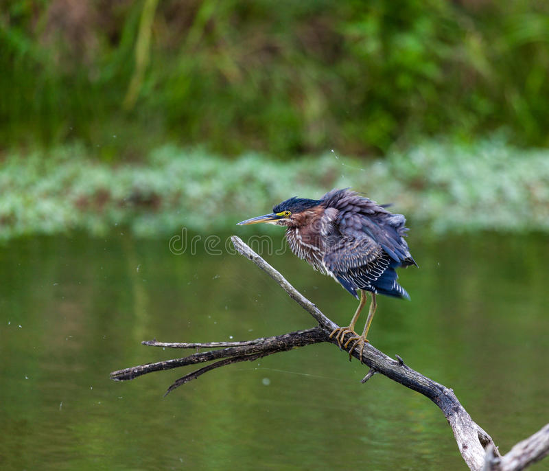 Download Green Heron stock image. Image of brown, fauna, water - 30642939