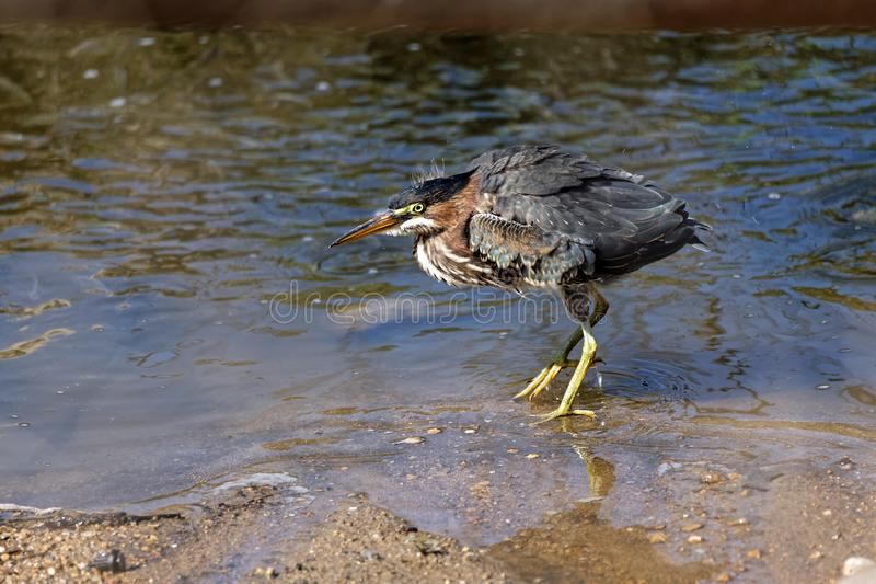 Green Heron Shaking It`s Feathers royalty free stock photos
