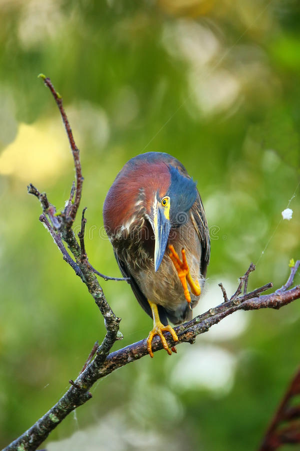 Green heron sitting on a tree stock photo