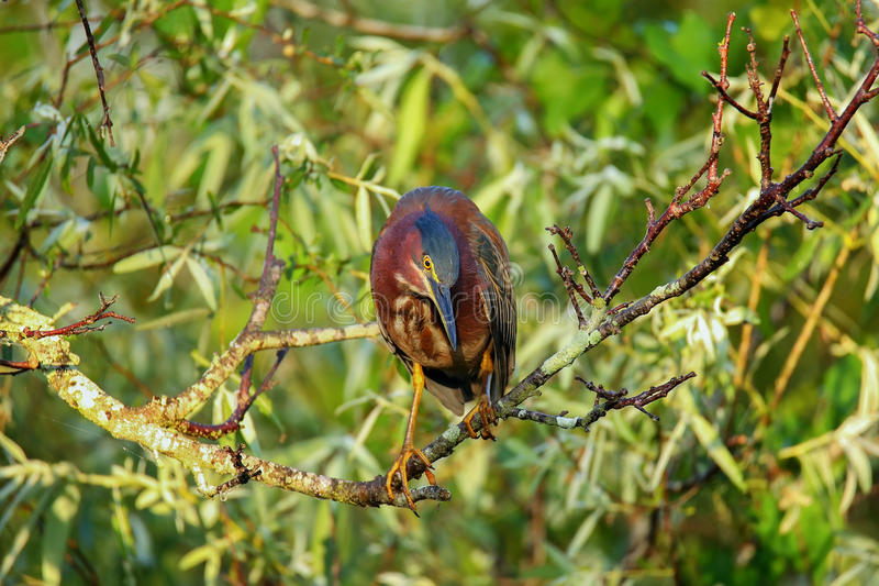 Green heron sitting on a tree stock images