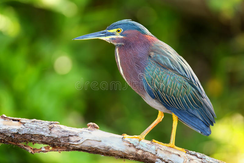 Green heron sitting on a tree royalty free stock images
