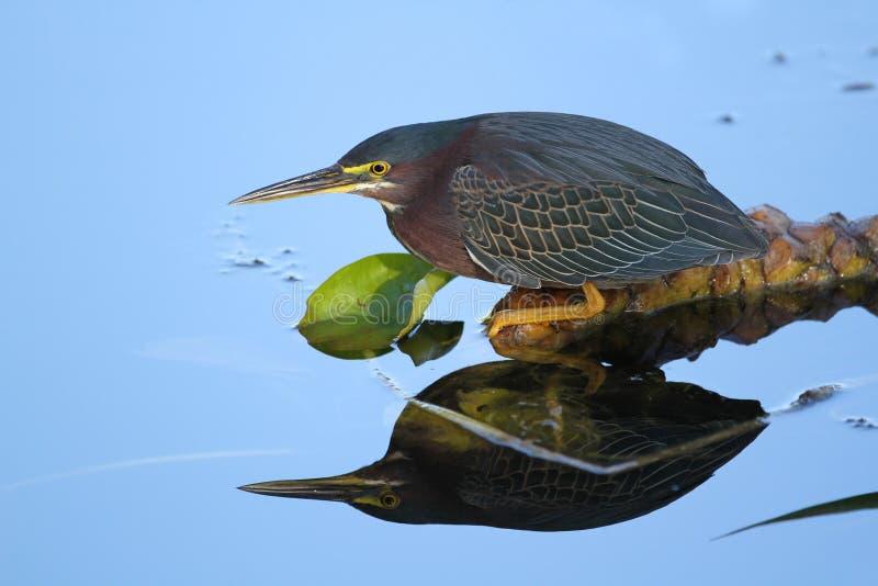 Download Green Heron Stalking Its Prey Stock Image - Image: 23934907