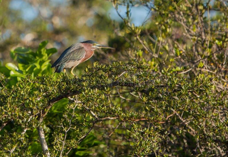 Green Heron On Tree Stock Photo