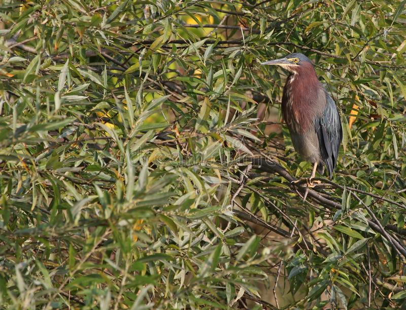Green Heron in a Tree. A Green Heron Butorides virescens sitting in a tree. Shot in Wheatley provincial park, located in Ontario, Canada stock photography