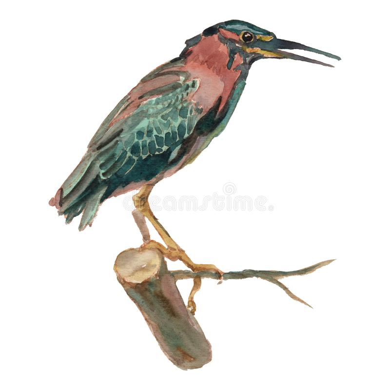 The green heron. Watercolor hand painted drawing of bird vector illustration