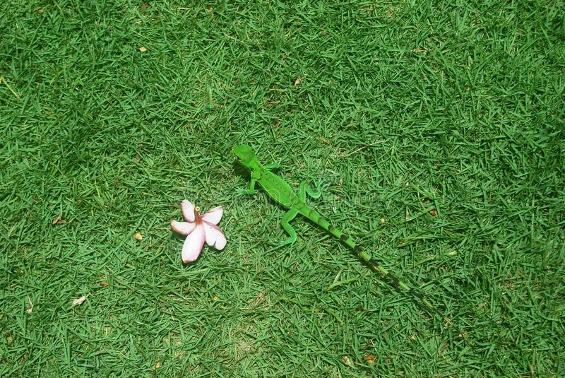 Green hidden gecko. Green is green with a camouflage gecko on grass royalty free stock photos
