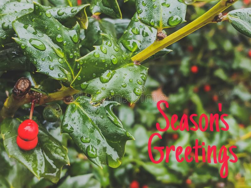 Green Holly With Red Berries Seasons Greetings Text Background. Evergreen, tree, leaves, seasonal, christmas, raindrops, card, message, celebration, copy stock photo