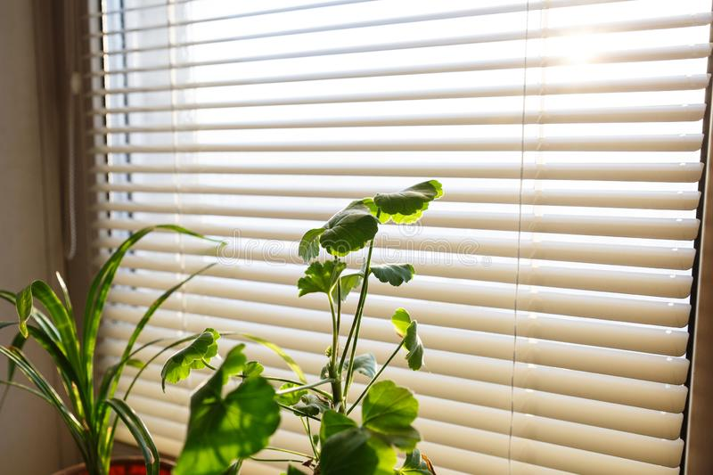 Green home flower. Home plant near the window with blinds. Sunlight through the blinds. Green fresh plant decorated on the table for room interior royalty free stock images