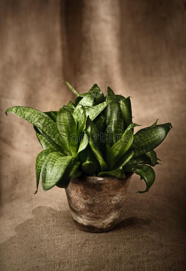 Green home plant  in flower pot royalty free stock photo