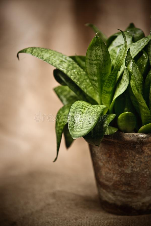 Green home plant  in flower pot royalty free stock photos