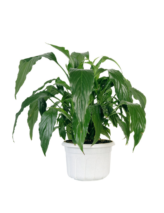 Green home plant in pot. royalty free stock image