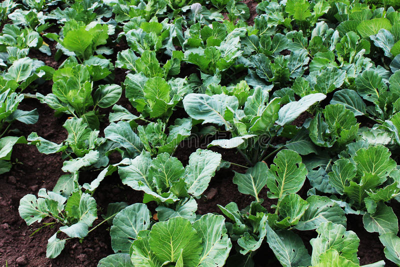 Green, homemade cabbage growing on a kitchen garden royalty free stock images