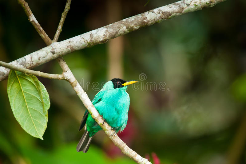 Download Green Honeycreeper stock photo. Image of honey, animal - 28258848