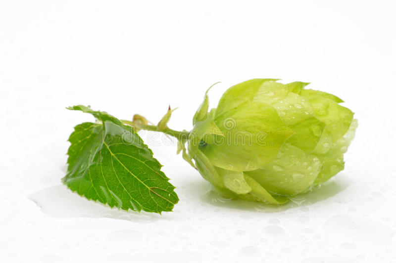 Green hop cones on a white background stock photography